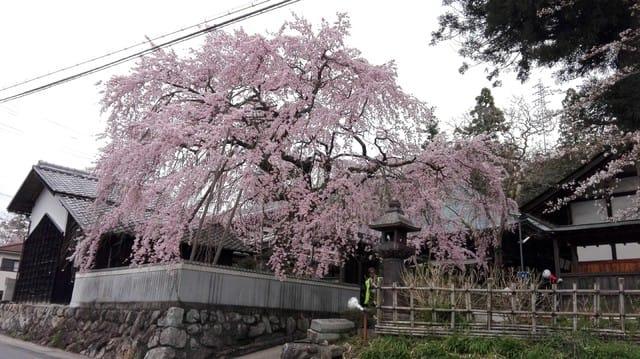 桜堂薬師の枝垂桜 - 田舎暮らし...