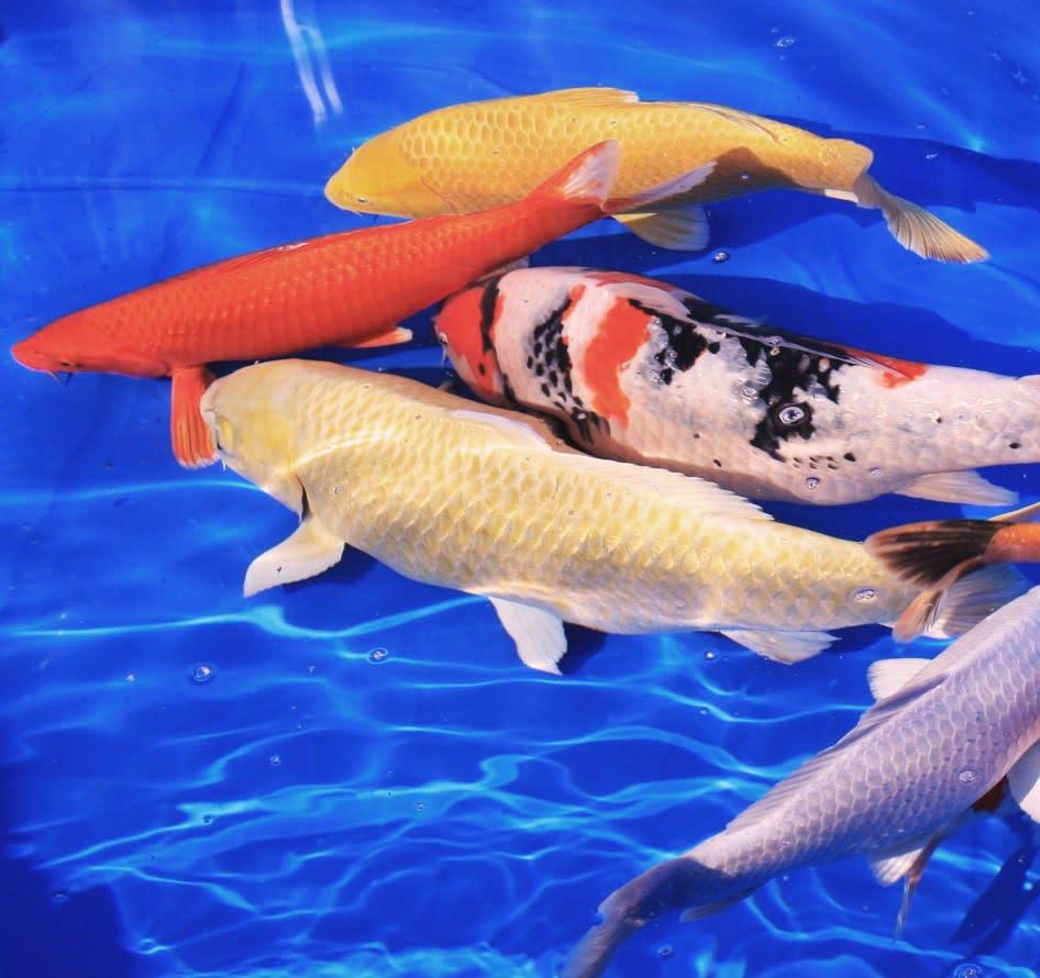 2010 05 05 わが里の河には、真鯉もおよいでいます