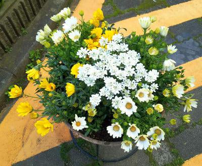 オステオスペルマムの白い花