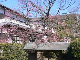 鎌倉の梅その1