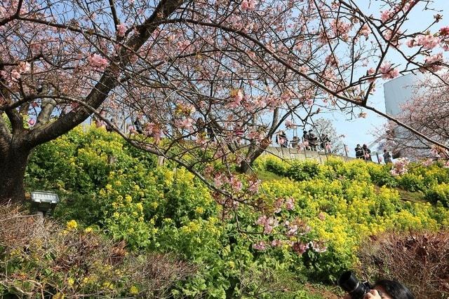 桜 神奈川 県 河津