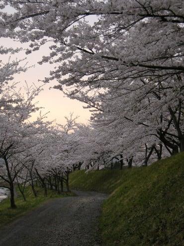 夕焼けの桜道