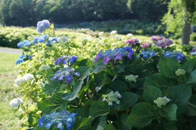 津市「かざはやの里の紫陽花」見てきました〜(^^)