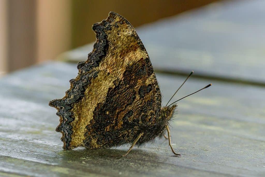 ヒオドシチョウの写真
