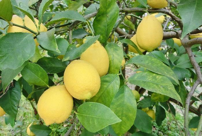 レモン(檸檬) ミカン科 - ひげ...