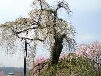 清雲寺の枝垂桜