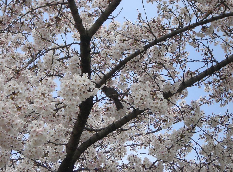 ひよ鳥も桜見物?〔1〕