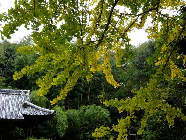 左右神社の銀杏