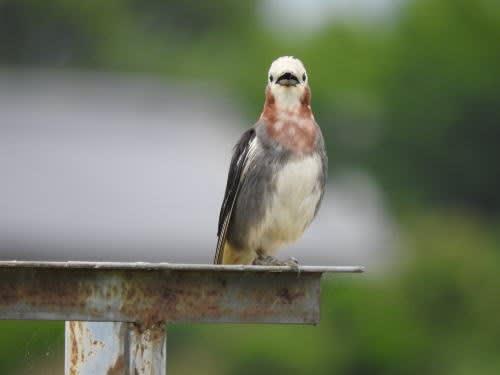 コムクドリ (小椋鳥)