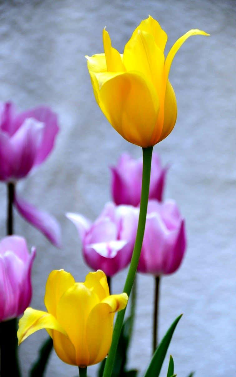 今日のご紹介は、剣弁咲きのチューリップです。