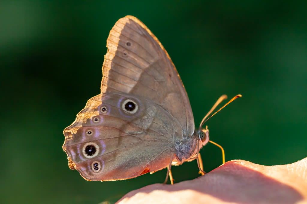 ヒカゲチョウの写真