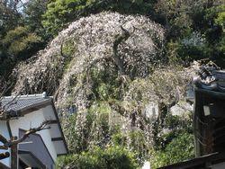 常光寺のしだれ桜