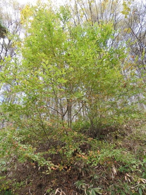 高ボッチ高原・鉢伏山で最近見る事の出来る実・種 カマツカ(鎌柄)