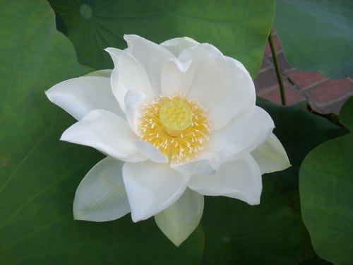 ハスの花その5