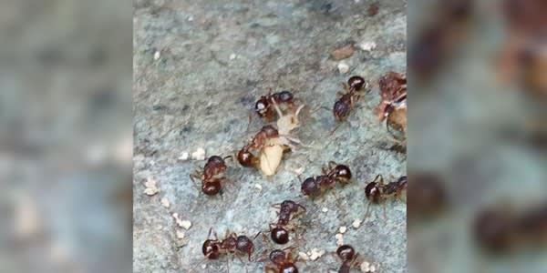 シロアリと黒アリの攻防