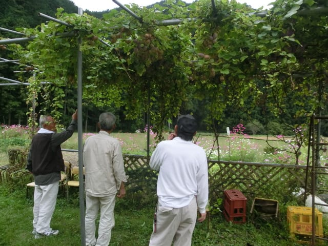 アケビの収穫
