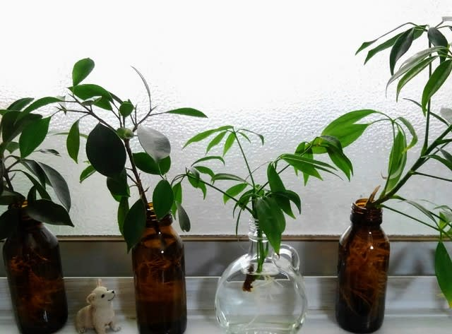 水栽培 パキラ