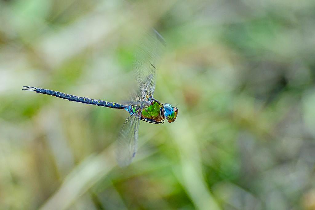 カトリヤンマ(静止飛翔)の写真