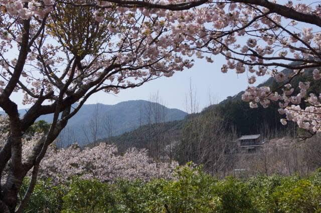 伊勢市「横輪桜」見てきました〜(^^) 2018