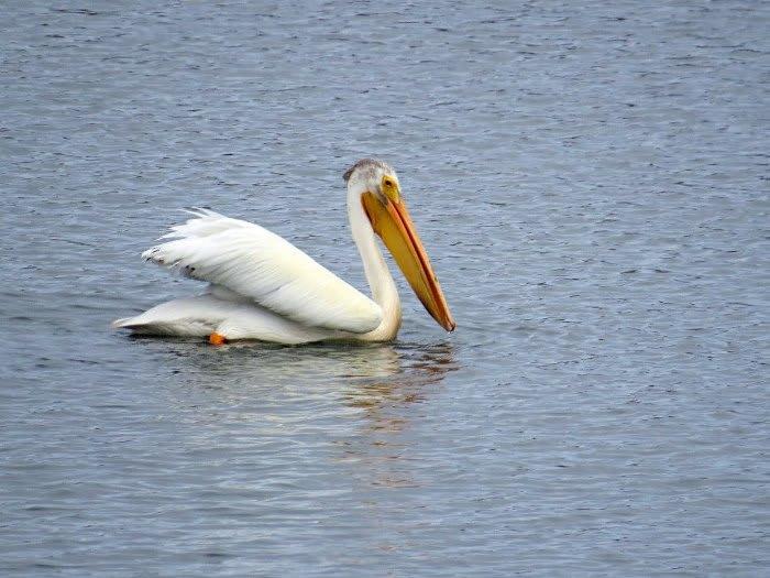 アメリカシロペリカン 湿地帯 @M...
