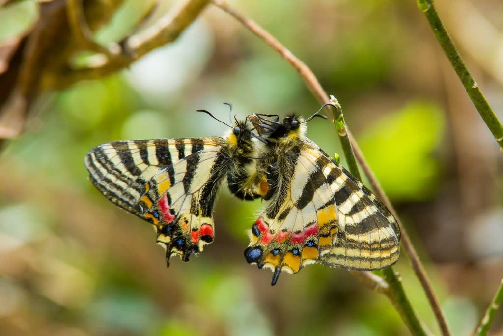 ヒメギフチョウ(交尾)の写真
