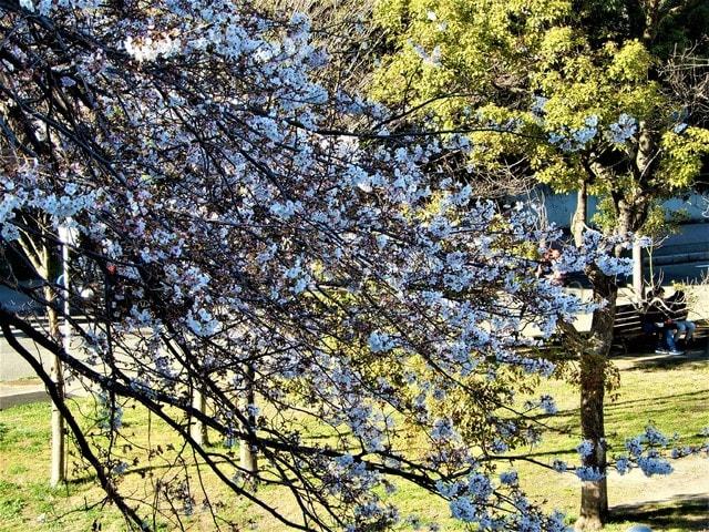 2020・3・21 本牧山頂公園はヨコハマヒザクラ(横浜緋桜)の原木がある丘