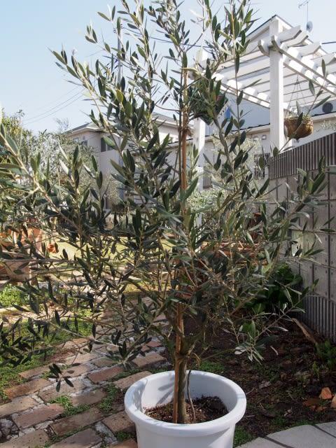 Trees Olive Tree The Magnolia Company