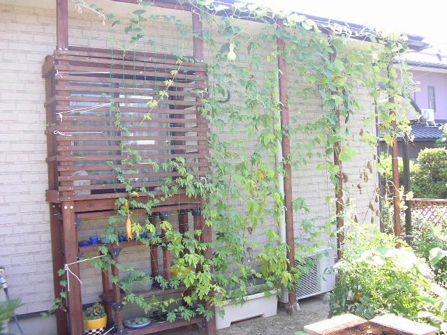 我が家の緑のカーテン・12の画像