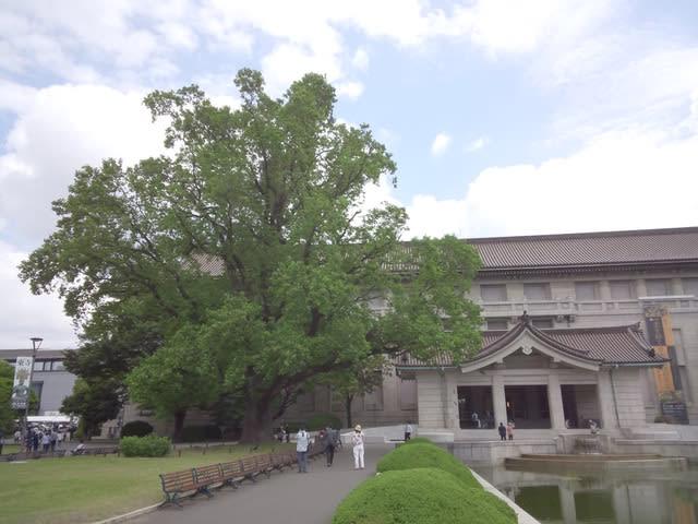巨木探訪・東京国立博物館のユリの木 - あられの日記