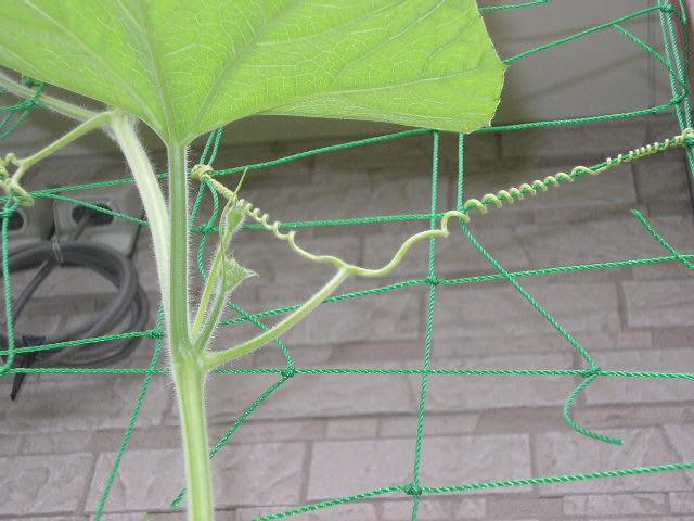 我が家の緑のカーテン・9の画像