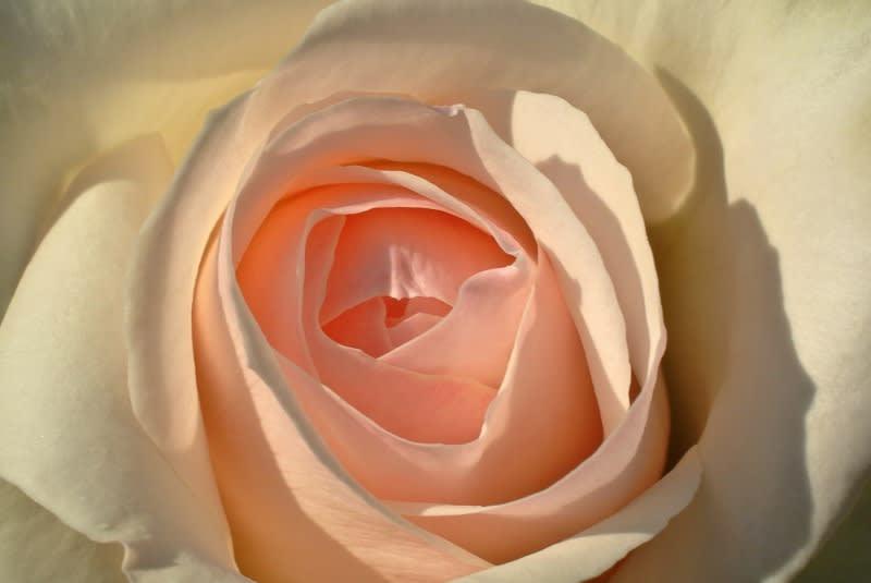 康有為とバラの花1 - ROSSさんの...