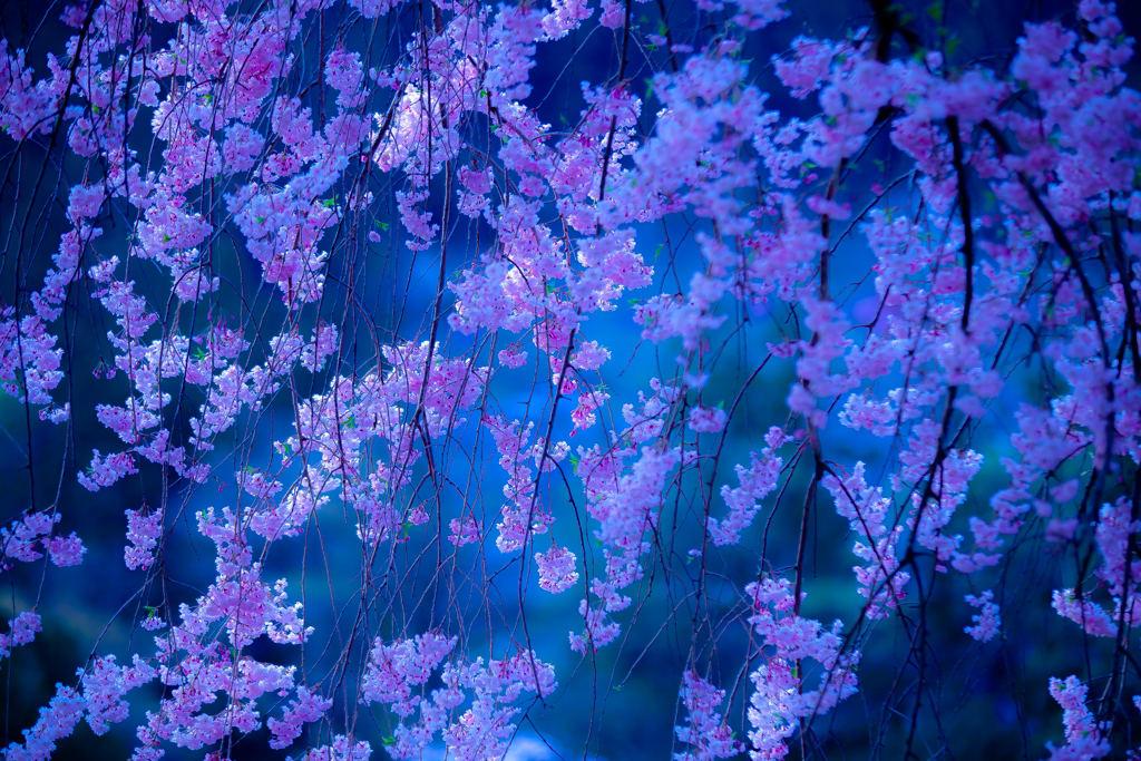 龍珠院の枝垂桜