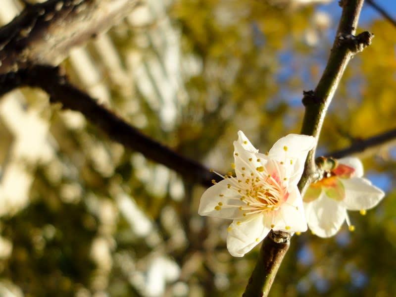 12月31日 シティタワーズ豊洲の梅
