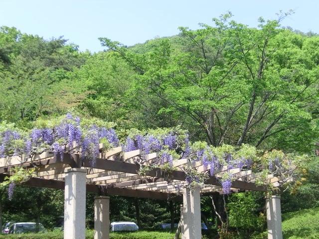 南口広場の藤の花