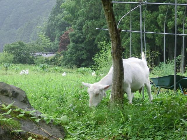 草を食べるメーメーちゃん