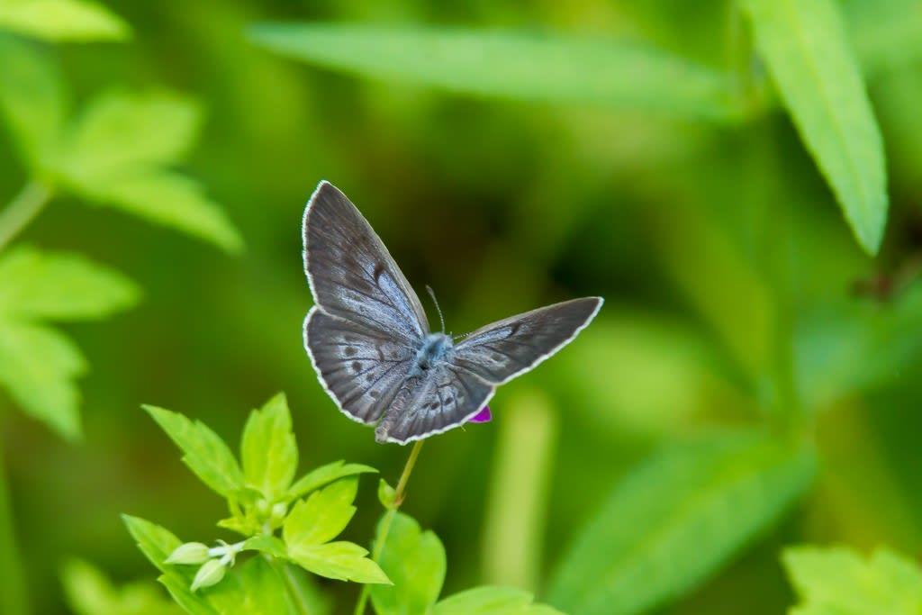 ゴマシジミ開翅の写真