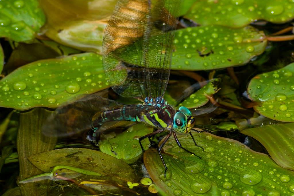 オオルリボシヤンマ青メスの産卵写真