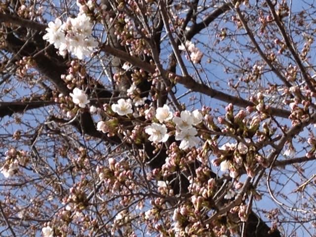 しろ 桜開花情報3/28