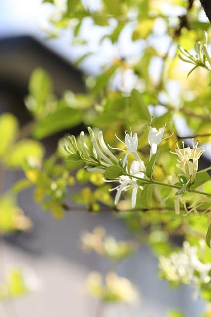 6月上旬、バラの季節に咲く黄金スイカズラとエリゲロン周辺