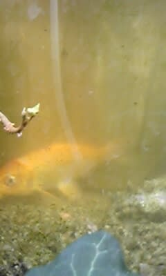 孵化した鯉も三歳です!