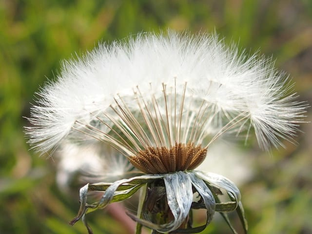 タンポポの綿毛