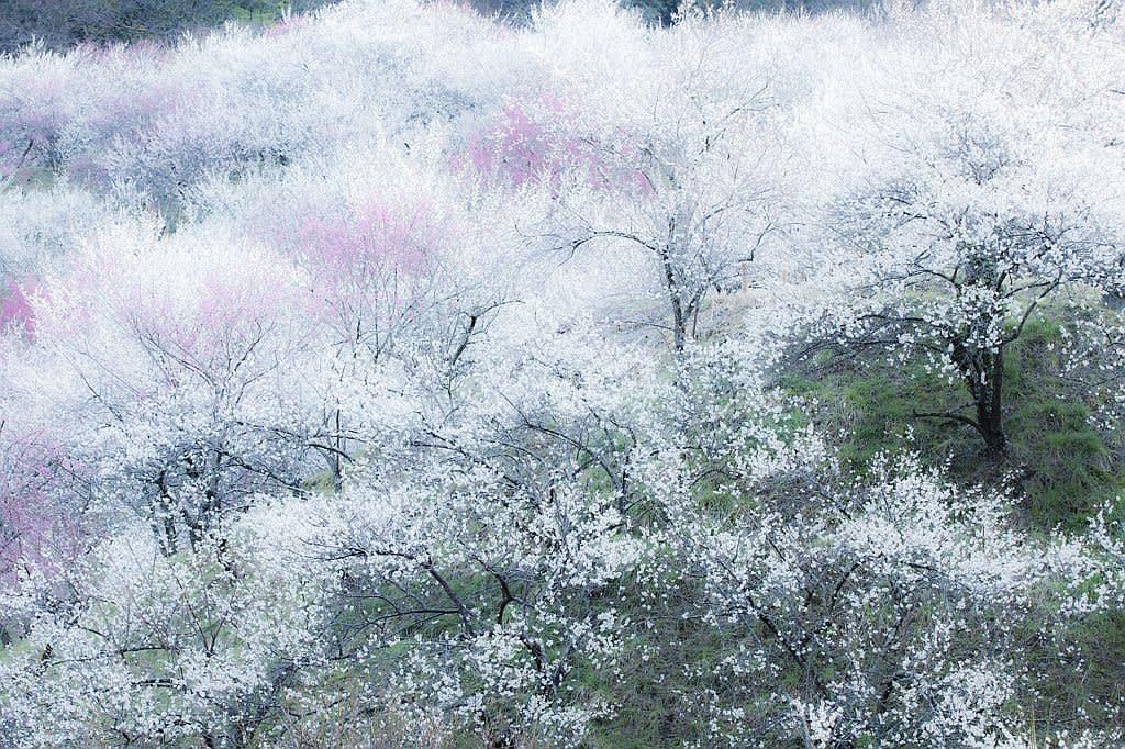 木下沢梅林の写真