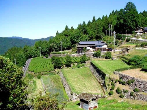 茶畑に変身(愛知県・設楽町・長江) - 長野県の棚田