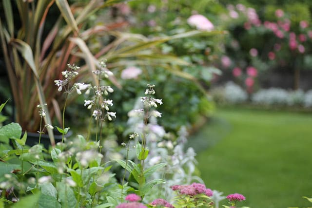 6月上旬、バラの季節に咲くペンステモン・ジギタリス