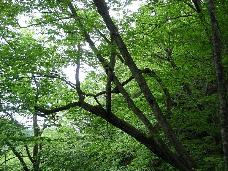 「新緑濃い広葉自然林」