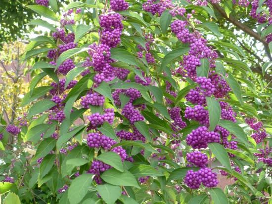 紫式部 実 の 色