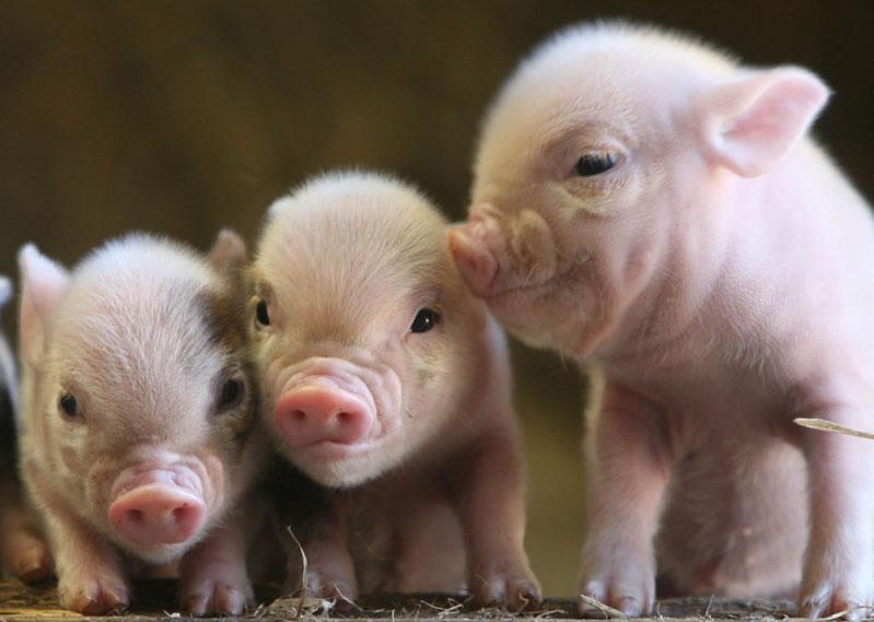 これが動物福祉? 職員は鉄の棒で子豚を叩いたあと窒息させようと子豚の鼻に手を置き足で喉を踏みつけた npo個人