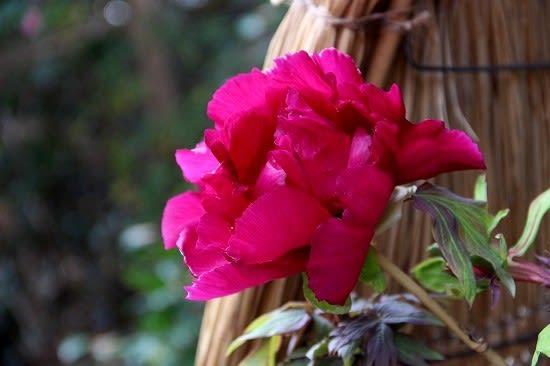石光寺の寒牡丹 - 花ごよみ