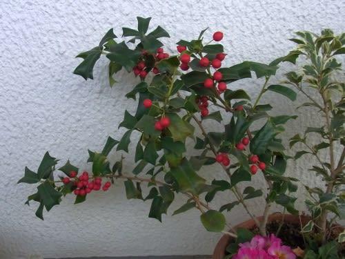 20120110セイヨウヒイラギの赤い実