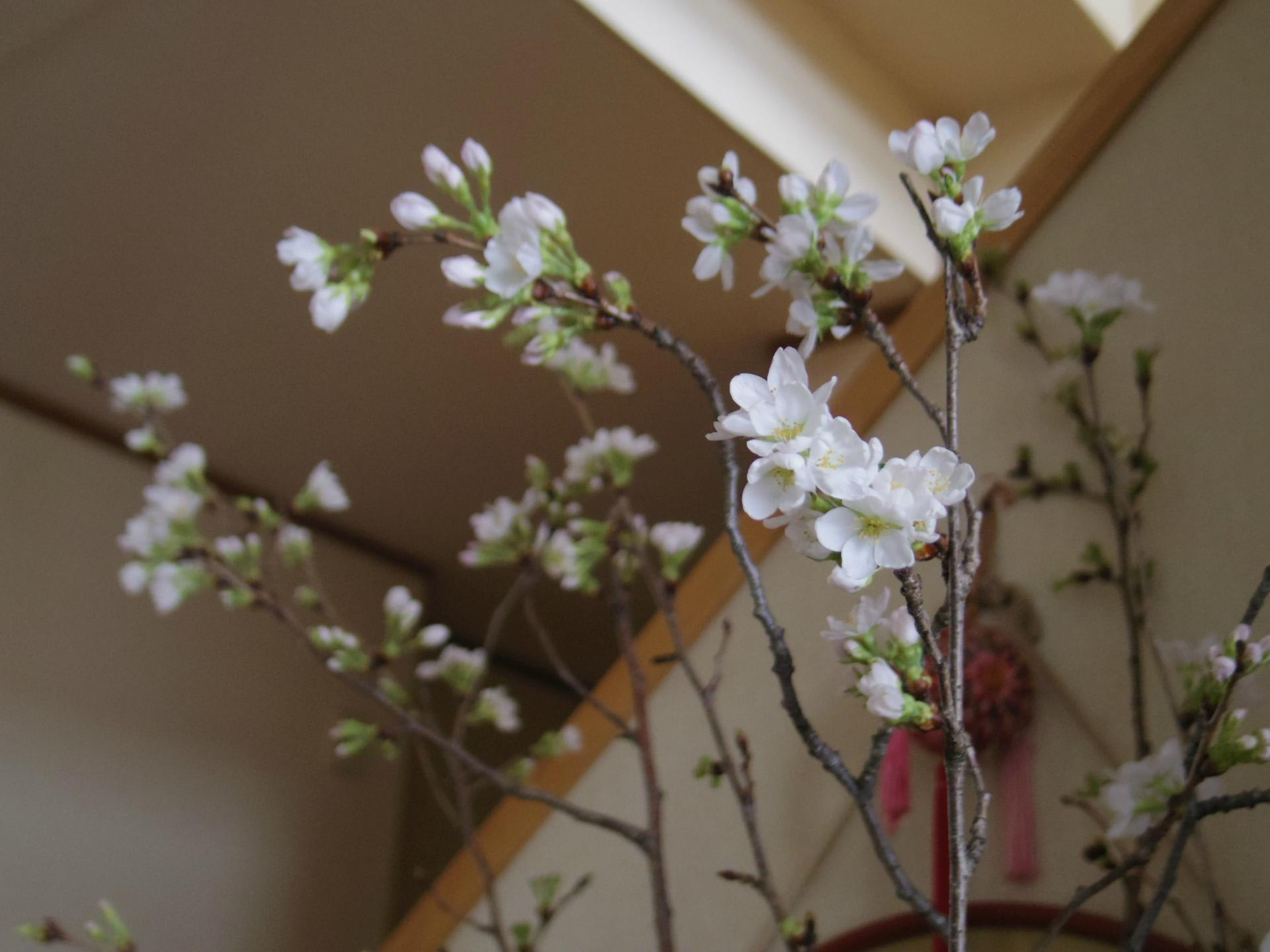 が 桜の たよ 咲き 花 の ぺんぺん草 まし ぺんぺん草の記憶